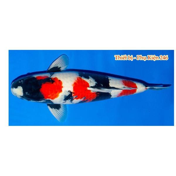 CAROPHYLL Kích lên màu đẹp cho cá ( An toàn và nhiều lợi ích) gói 1 Gram