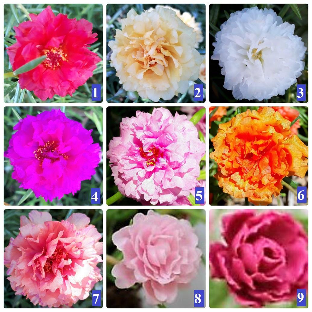 Hoa 10 giờ Thái, bông to, giá rẽ chỉ 25k 1 bó 50 cây, trên 8 màu