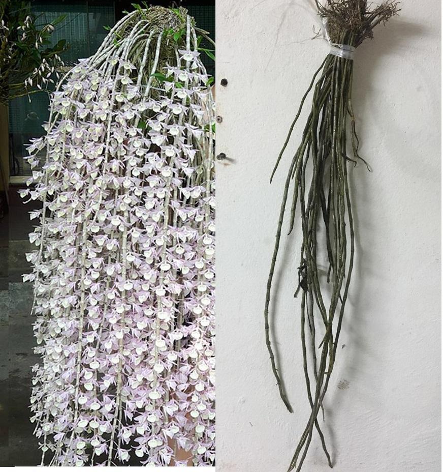 Cây hoa lan rừng Hạc Vỹ  - Loài hoa lan rừng triệu người mê