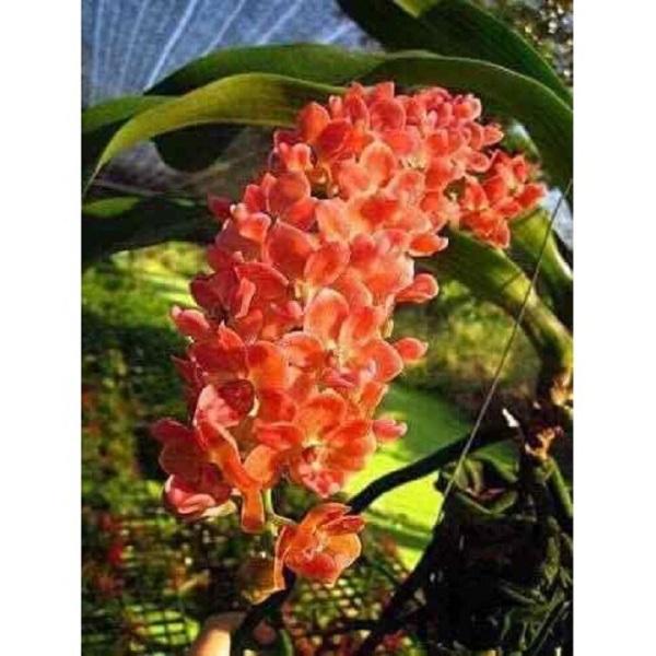 Phong lan đai châu màu cam - ngọc điểm thái hàng hoa tết
