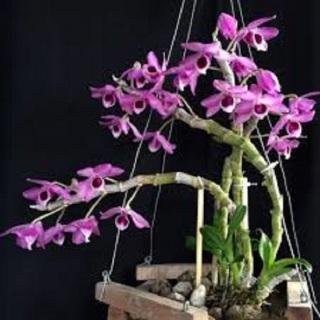 Hoa lan - trầm tím lào( cây cao 25cm,to khỏe, bộ rễ đẹp) thumbnail