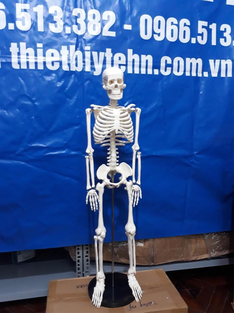 Mua Mô hình giải phẫu hệ xương người cao 85cm