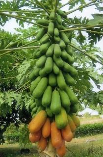 Hạt Giống Đu Đủ Hà Lan Siêu Quả Seed Line Thái Lan. 1 gr gói. Tặng kèm viên nén. Hạt giống nhập khẩu có tỉ lệ nảy mầm cao. Chất lượng đảm bảo. thumbnail