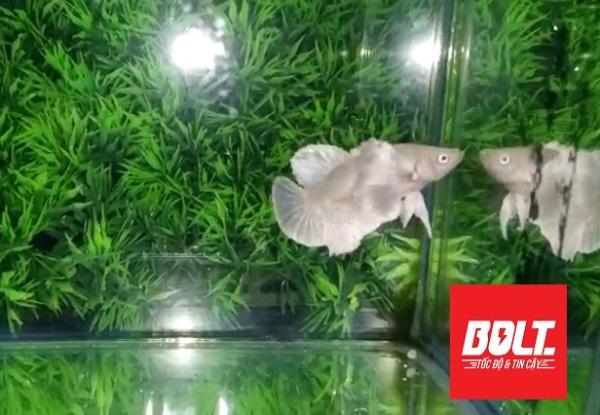 Sản phẩm Phụ kiện : 1 trống Dumbo White tay to Siêu đẹp - Bolt Unicolour Betta