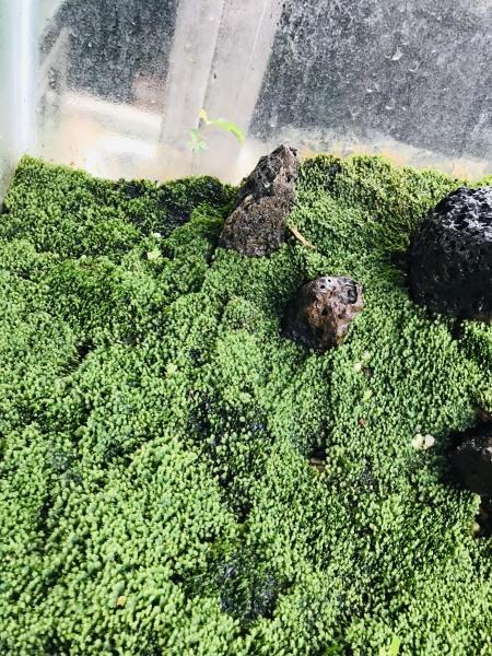 Rêu thủy sinh -rêu minifiss hộp 5 tấc ( 50x10cm)