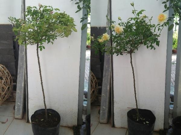 Combo 3 hoa hồng thân gỗ Tree Rose hàng dâm cành nguyên bản từ cây mẹ