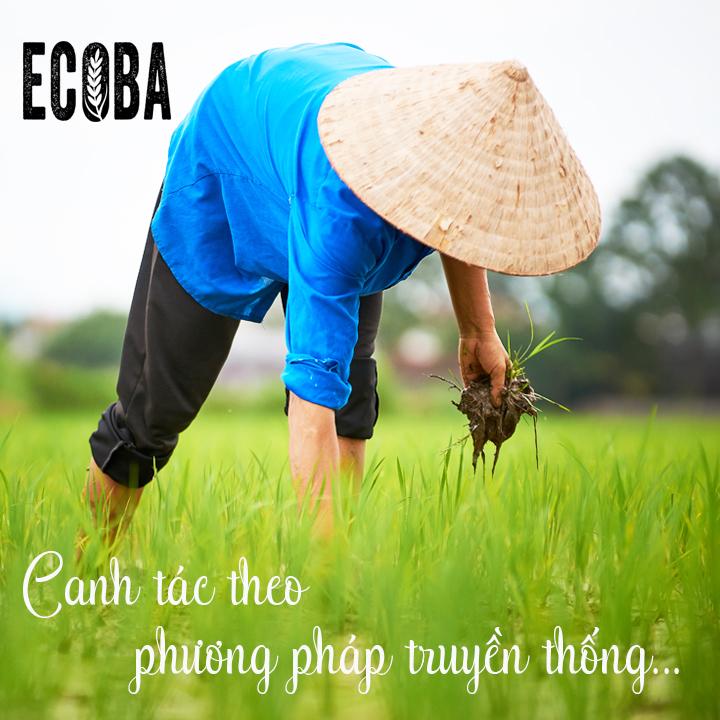 canh-tac-lua-truyen-thong